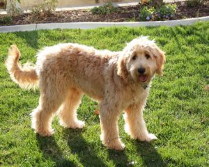 goldendoodle breeders stanfield nc